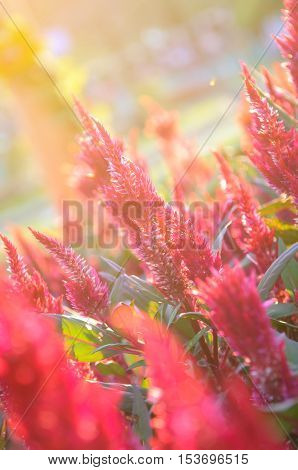 Red Cockscomb flowers with light effect - beautiful natural