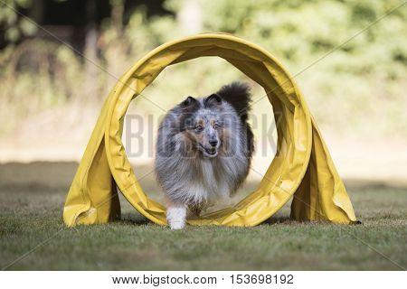 Shetland Sheepdog Sheltie running in agility tunnel