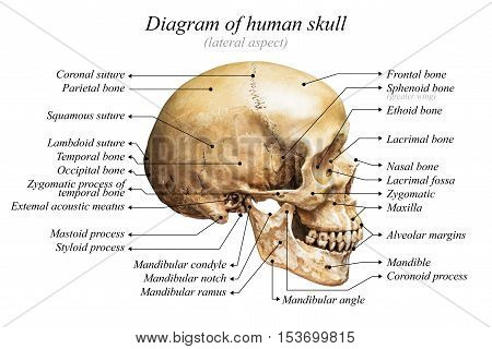 Lateral aspect of human skull diagram on white background for basic medical education