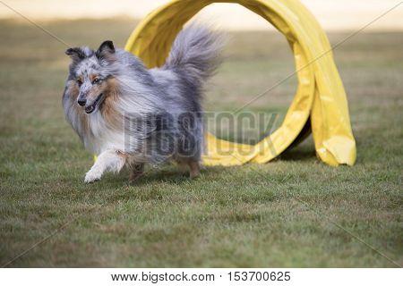 Dog, Shetland Sheepdog Sheltie in agility competition