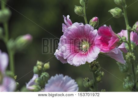 The pink hollyhock are blooming.In the garden beautiful