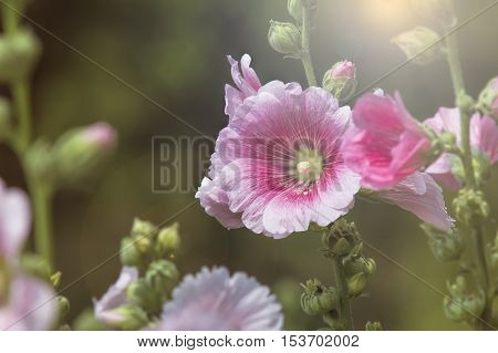 Beautiful Pink hollyhock blossom in the garden with vintage
