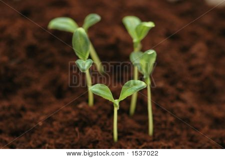 New Life Concept - Seedlings Growing In The Soil