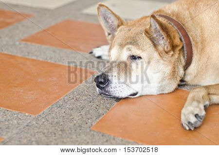 dog sad,dog is cry.Cute dog is lying.