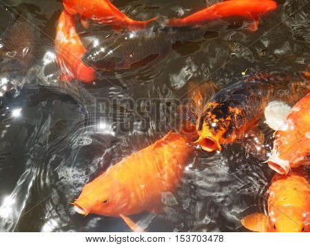 Koi Goldfish reaches out of water with open mouth and sparking eyes - Symbol of luck and good fortune in dreamlike watersurreal setting