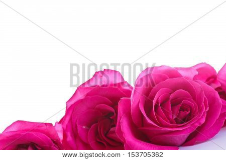 beautiful bright pink roses on a white background