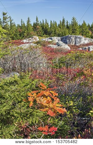 Autumn colors paint Bear Rocks Preserve at The Dolly Sods Wilderness in the Allegheny Mountains of West Virginia.