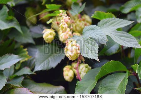 Hop cones on a background of green leaves.