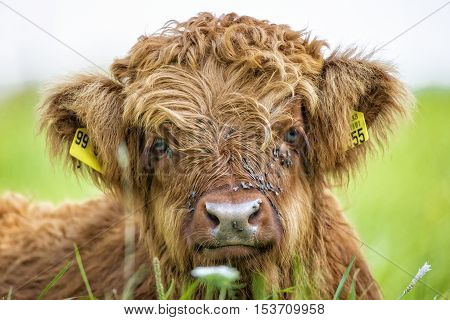 Close up of highland cow calf lying in grass