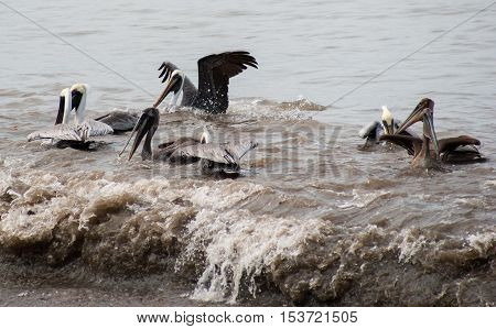 A flock of pelicans frolicking in the surf