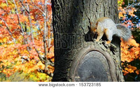 Squirrel perched on tree with ears perked up with fall foliage and leaves changing colors