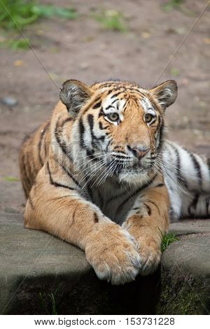 Young Siberian tiger (Panthera tigris altaica), also known as the Amur tiger. Wildlife animal.