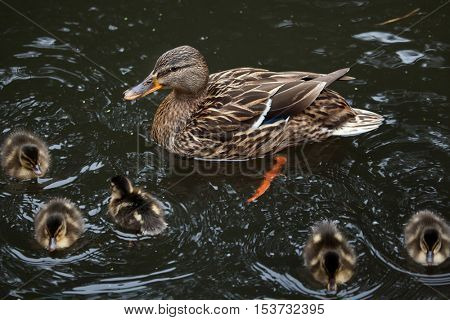 Wild duck (Anas platyrhynchos), also known as the mallard. Female duck with ducklings. Wildlife animal.