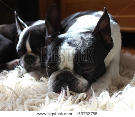 Two Boston terriers sleeping under the sun. Dozing dogs in cozy environment.