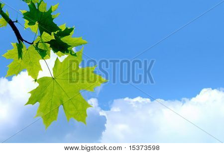 maple leafs in the blue sky