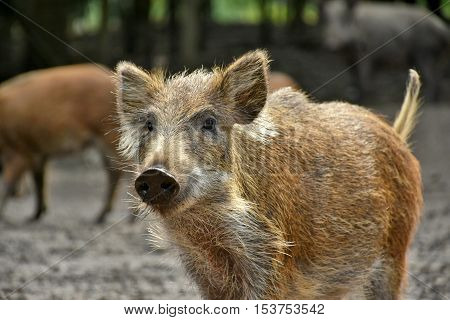 curious young boar with sounder of boars in the background