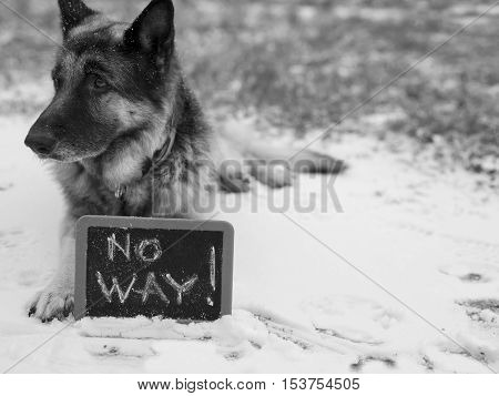 Dog lying on the snow with a written warning No Way in the foreground cropped shot concept of safety in black and white
