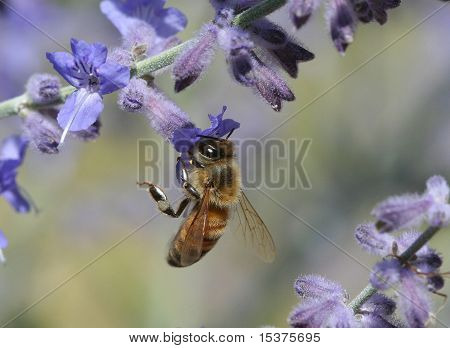 Honey Bee and Purple Flowers