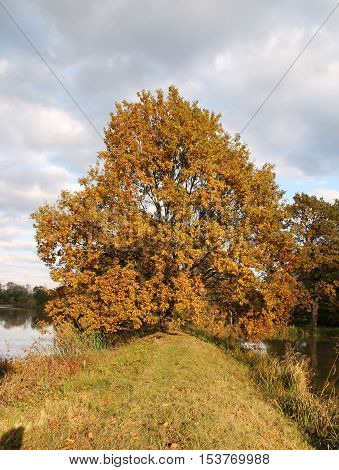 big oak tree with crooked branches with colorful leaves on the bank of a pond in autumn enlightened with evening sun and clouds above it in Poodri, Czech Republic