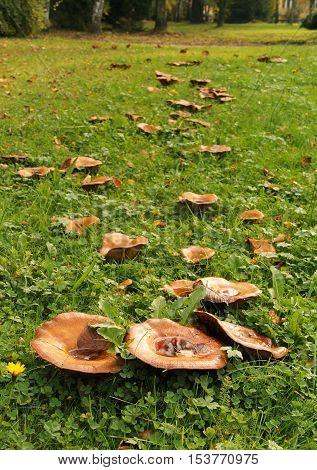 a lot of of large Lactarius mushroom in the grass with some fallen leaves on their caps in the park