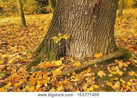 tiny maple tree growing next to the trunk of huge one and fallen yellow leaves in autumn