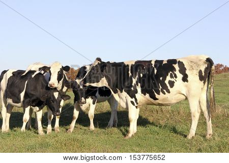 Several Holstein Heifers on a Wisconsin grass meadow