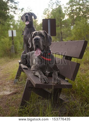 Purebred Great Danes waiting on a bench for a ride