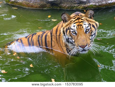 male Bengal Tiger sitting with head and shoulders above water, looking into the camera