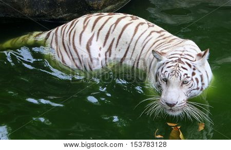 white mutation Bengal Tiger takes a soak in the water on a hot day