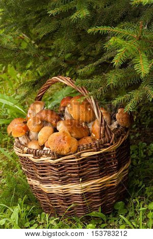 Boletus Edulis. Edible Mushrooms Boletus Edulis In Wicker Basket Under Fir Tree In Forest. Seasonal Harvesting Mushrooms. Close Up.