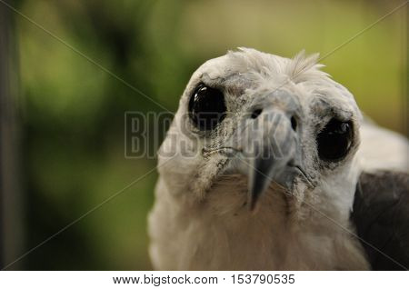 Portrait of a white-bellied sea eagle trapped in a cage. Indonesia Java.