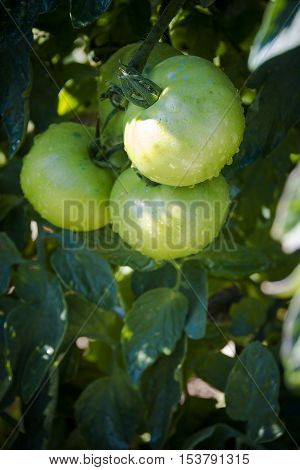 Green tomatoes with dew in early morning sunlight