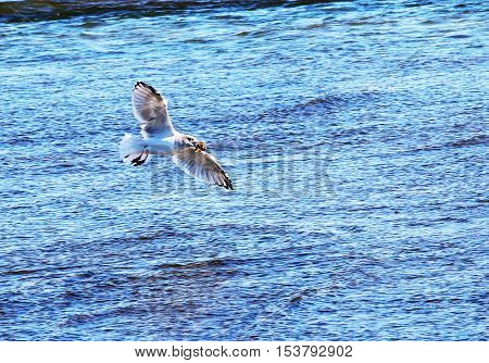 A seagull flying away with a conch in its mouth ready to drop it on the cement so it can be eaten