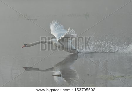 Mute Swan. Large white water bird. Taking off flying bird