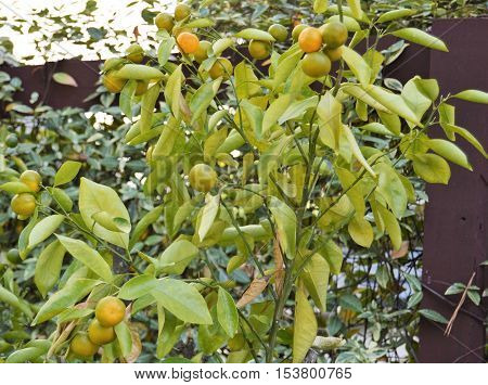 calamansi lemon plant fruit Filipino ripe ready