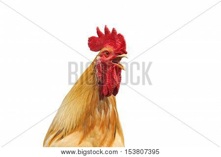 the head of a rooster with a red crest sings on a white isolated background