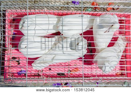 three pairs of white birds are languishing in a cage