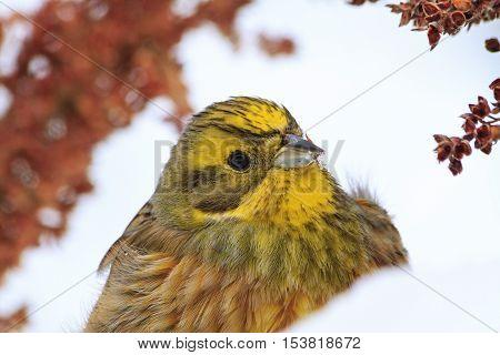 bright yellow bird portrait in snow, colorful bird, birds winter nomadic birds, yellowhammer