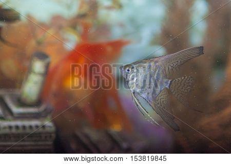 Separate Ordinary Scalare Individual in Personal Aquarium Indoors. Horizontal Shot