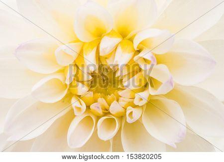 Detail of White Chrysanthemum Flower Head Closeup Background