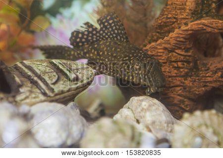 Separate Odinary Corydoras Paleatus Individual known as Sheatfishin in Personal Aquarium Indoors. Horizontal Image Composition