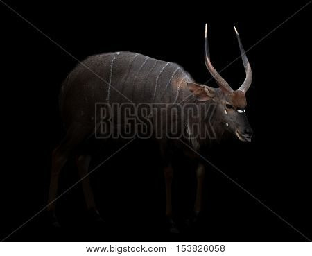 Nyala Isolated On White Background