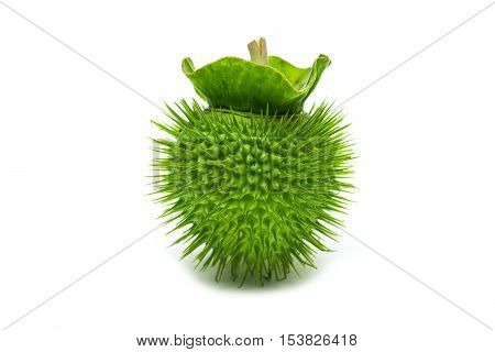 Jimsonweed  fruit. on white background  Selective focus