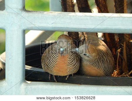 Wild Zebra Dove preening its mate sweetly on the planter at the balcony