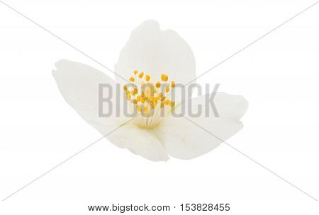 elegance summer flower jasmine flower on a white background