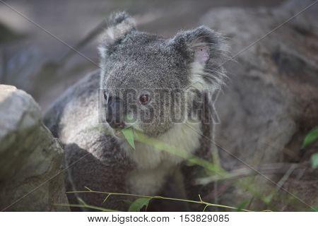 Koala is a small marsupial animal Thailand Southeast Asia