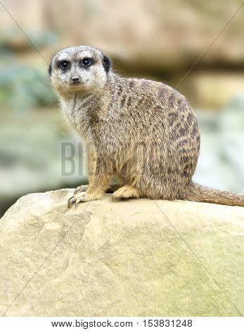 Suricate looking into the camera. Close-up shot.
