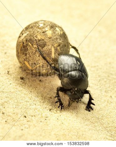 Scarab beetle with ball in the sand.