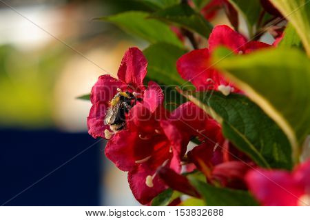 Bee covered in pollen sucking nectar in a flower corolla