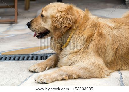 portrait of beautiful golden retriever on terrace